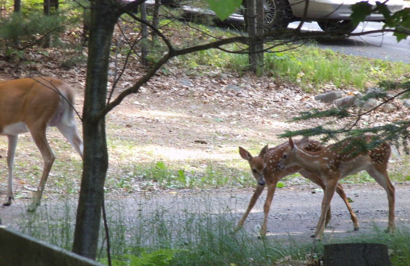 Deer at Wind Drift Resort.