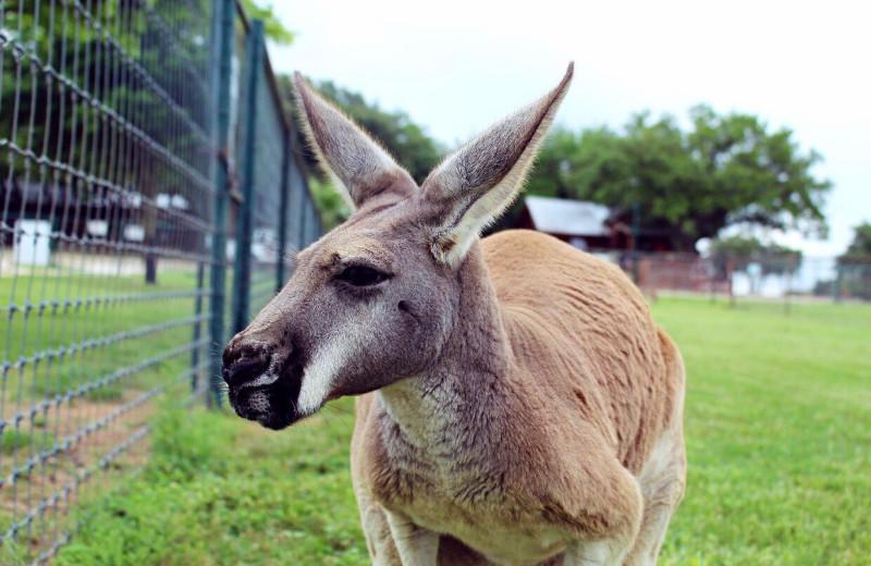 Kangaroo at The Exotic Resort Zoo.