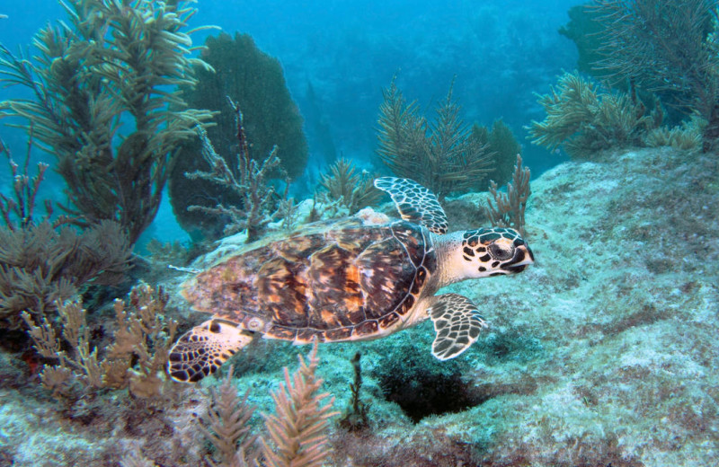 Sea turtle at Rent Key West Vacations.