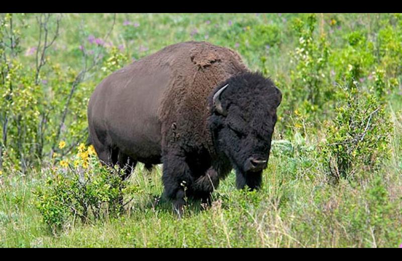 Bison at Ninepipes Lodge.