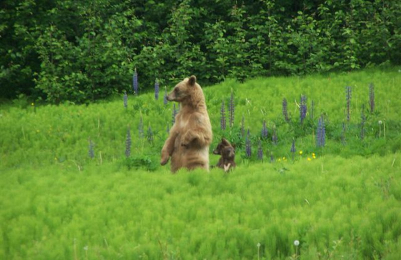 Grizzly bears in the area - Mica Mountain Lodge & log cabins