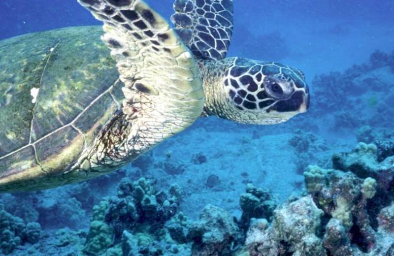 Sea turtles at Crowne Plaza Melbourne Oceanfront Resort.
