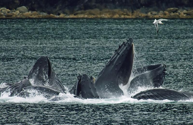 Whales at Alaska's Big Salmon Lodge.