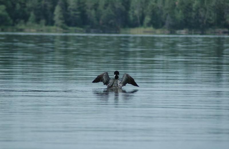 Loon on the lake at Rainy Lake Houseboats.