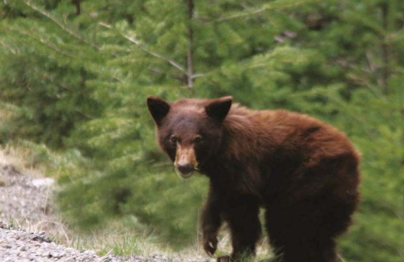 Bear at Glacier House Resort.