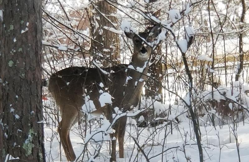 Deer at Pine Beach Resort-Side Lake.