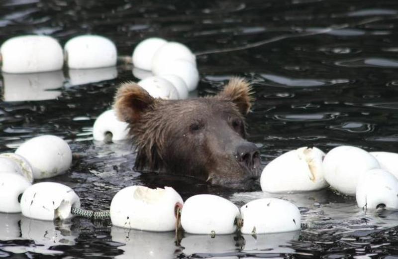 Bear at Port Lions Lodge.