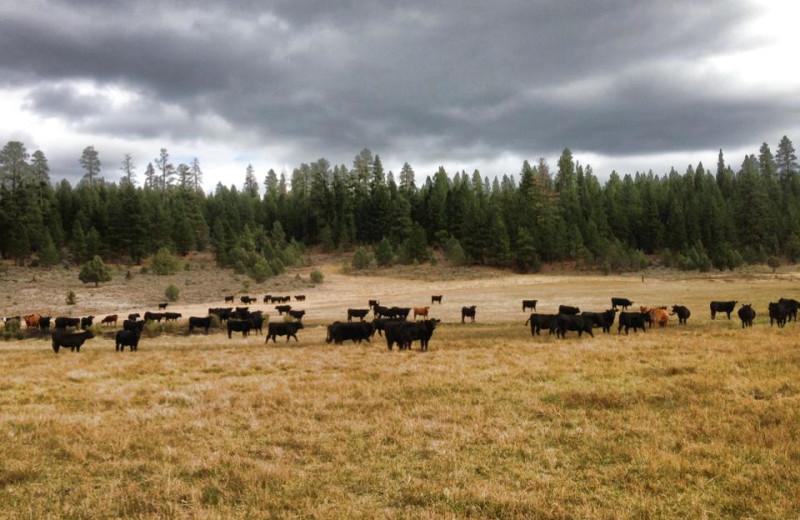 Cattle at Aspen Ridge Resort.