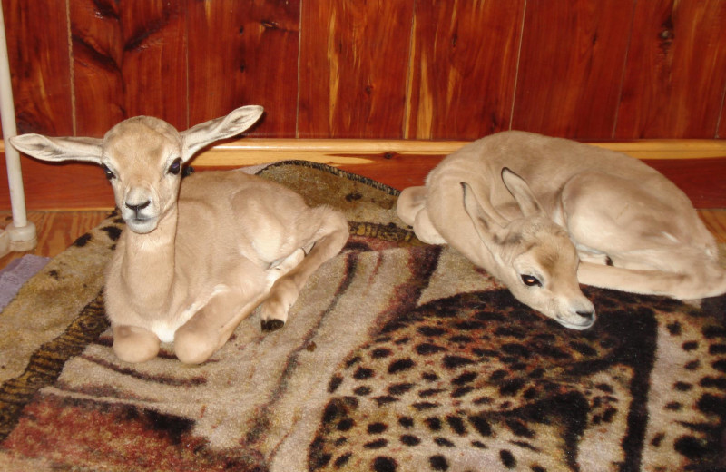 Gazelle babies at The Exotic Resort Zoo.