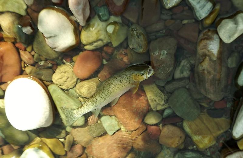 Fish at Gentry River Ranch.
