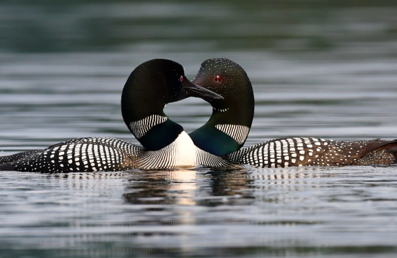 Loons at Bartlett Lodge.
