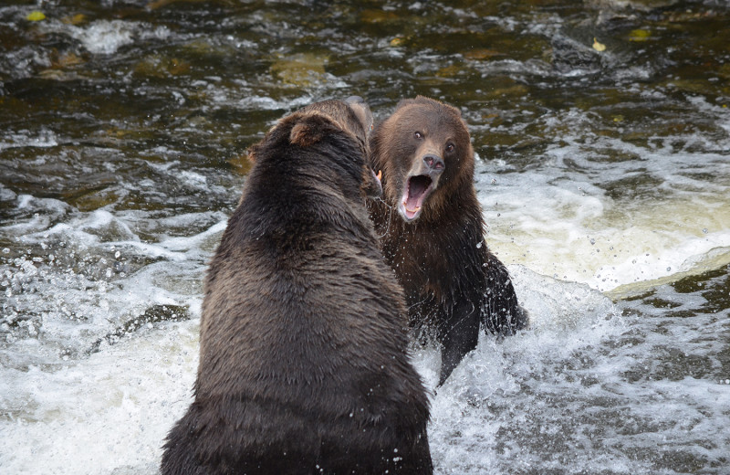 Bears fighting at Grizzly Bear Lodge & Safari.