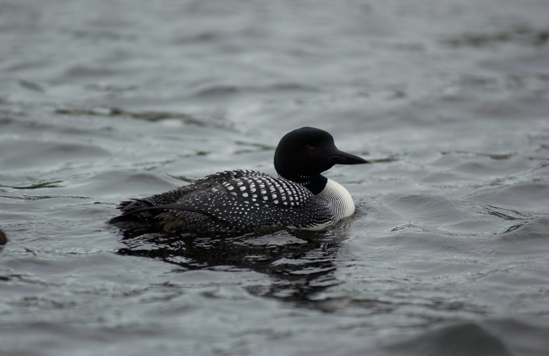 Loon on the lake at Pitlik's Sand Beach Resort.
