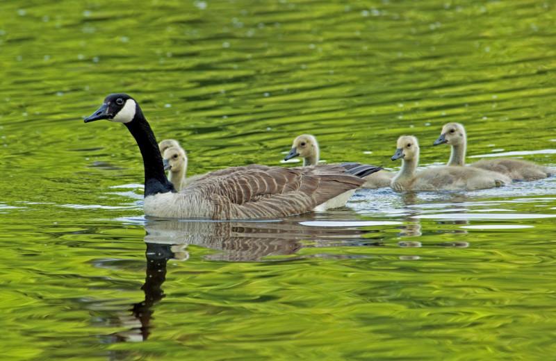 Geese at RiverStone Resort & Spa.