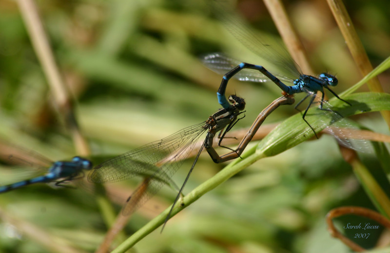 Dragonflies at Afognak Wilderness Lodge.