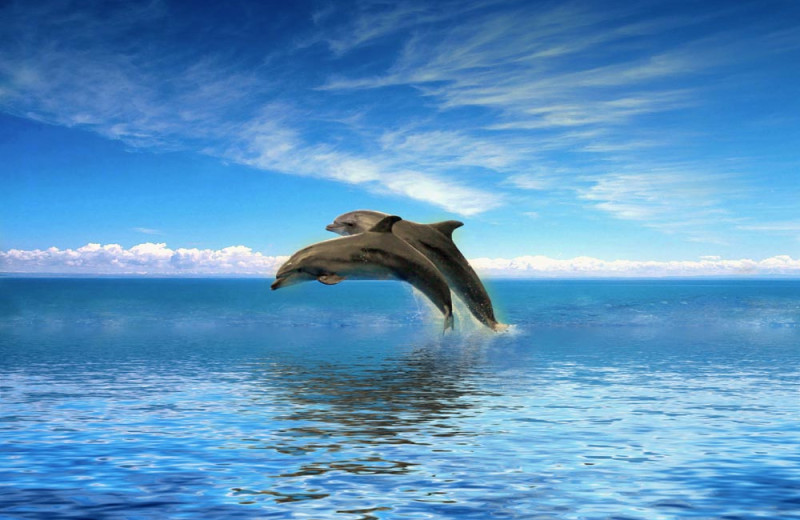 Dolphins jumping at Gulf Winds Resort Condominiums.