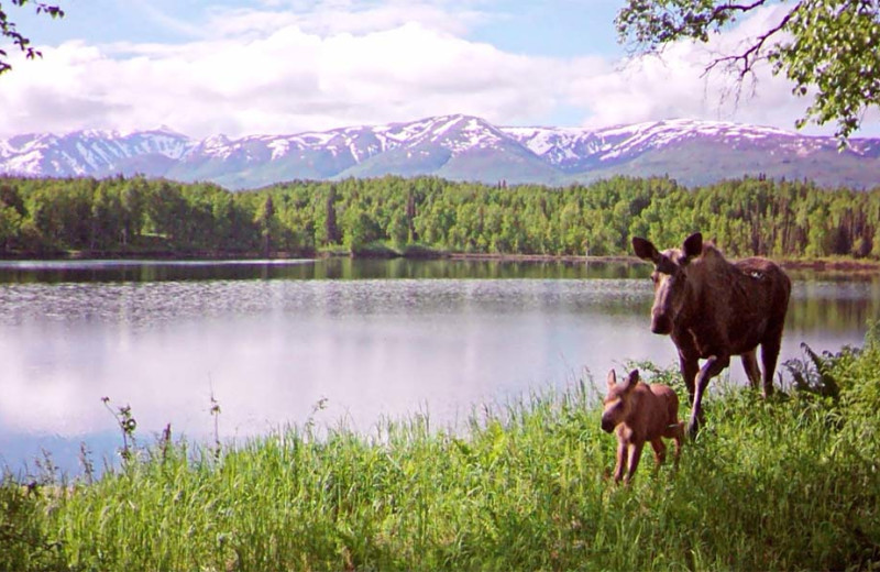 Moose at The Alaska Adventure Company.