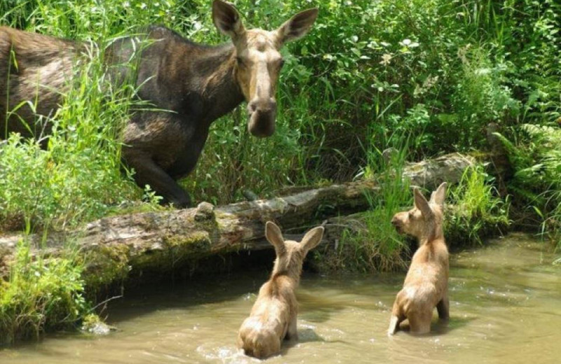 Moose sighting at Cabins at Lopstick.