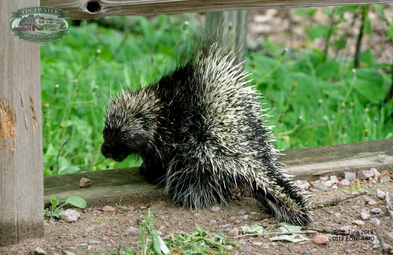 Porcupine at Edgewater Inn & Cottages.