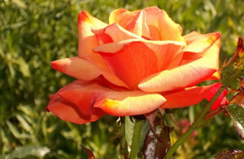 Roses in bloom at Fairway Suites.