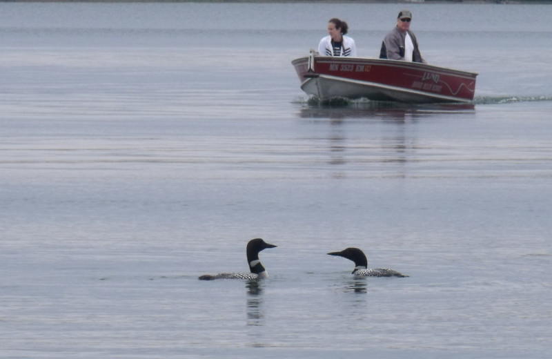Loons at Cozy Cove Resort.
