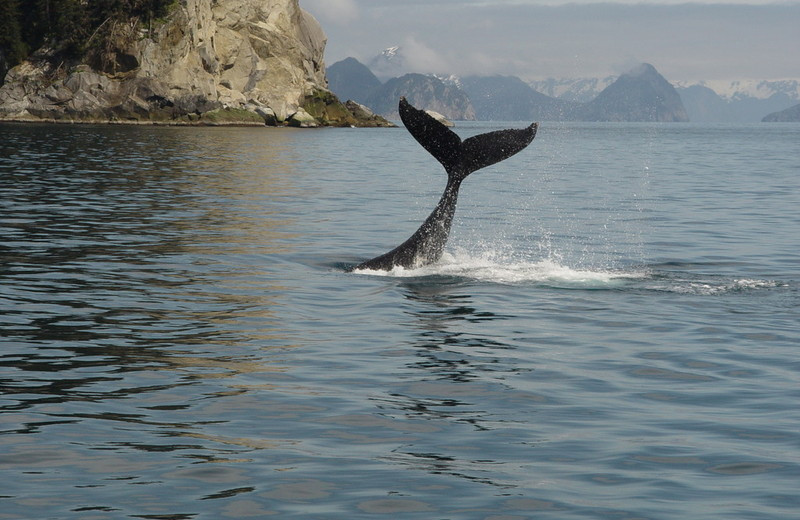 Whale at Midnight Sun Bed and Breakfast Log Cabins.