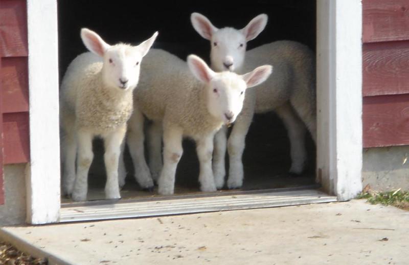 Lambs at Chanticleer Guest House.