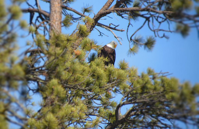 Eagle at Edelweiss Mountain Lodging.