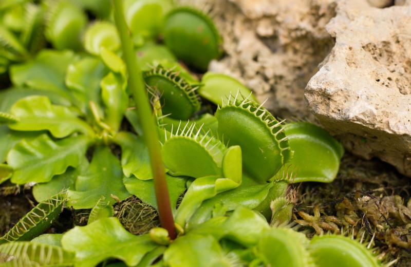 Venus flytraps at Carolina Beach Inn.