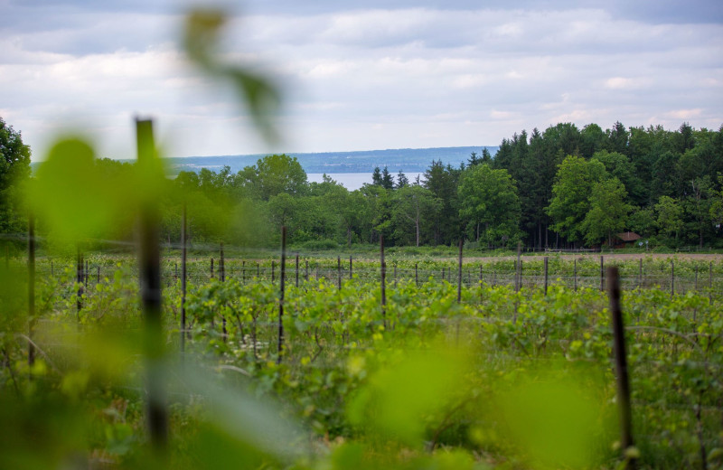 Vineyard at Buttonwood Grove Winery