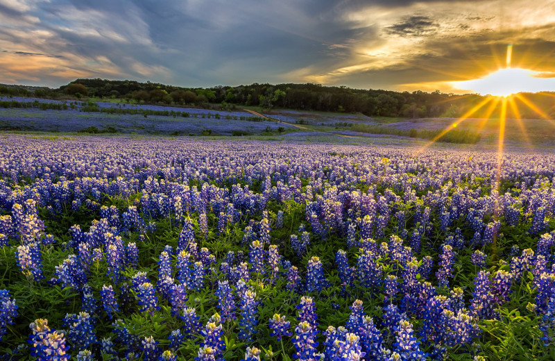 Field of flowers near Spicewood Cottage by Lake Travis.