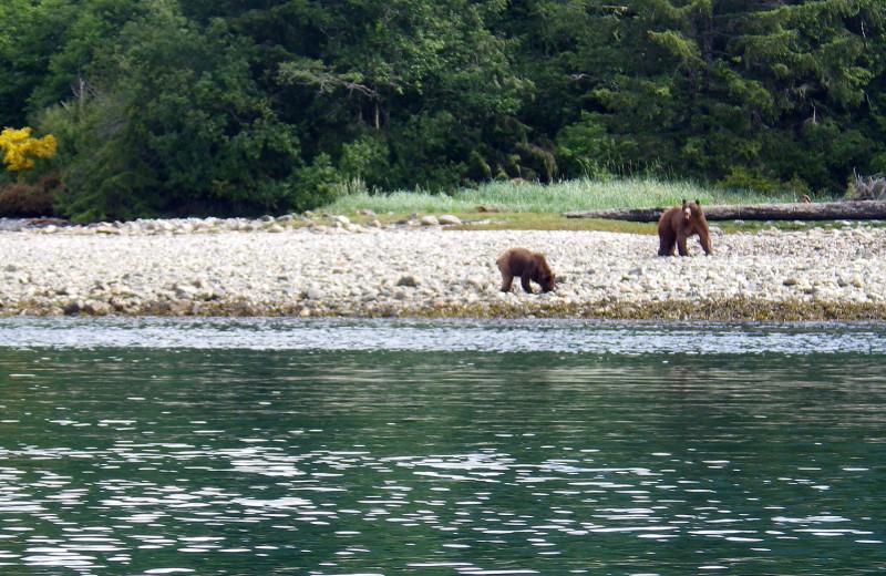 Bears at Lund Resort at Klah ah men.