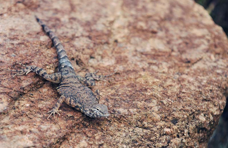 Lizard at Inks Lake State Park.