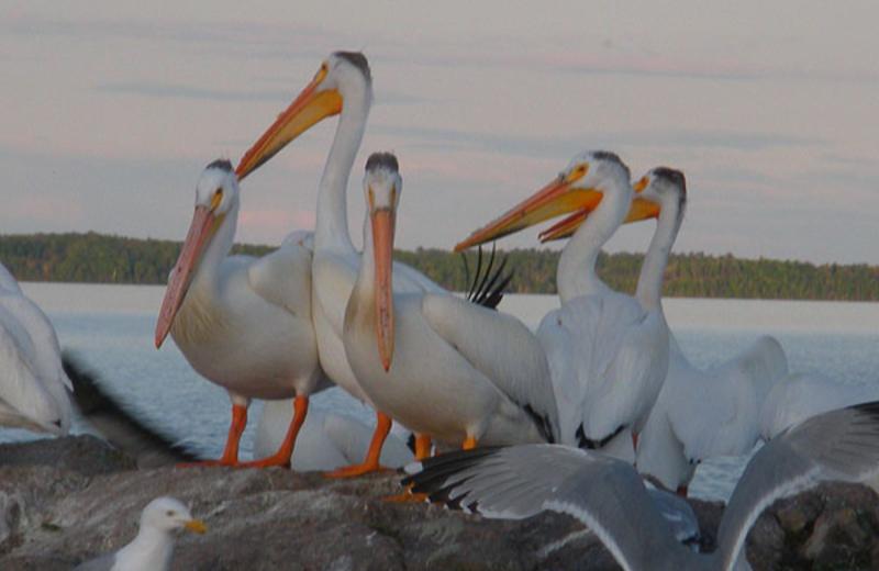 Pelicans at Angle Inn Lodge.