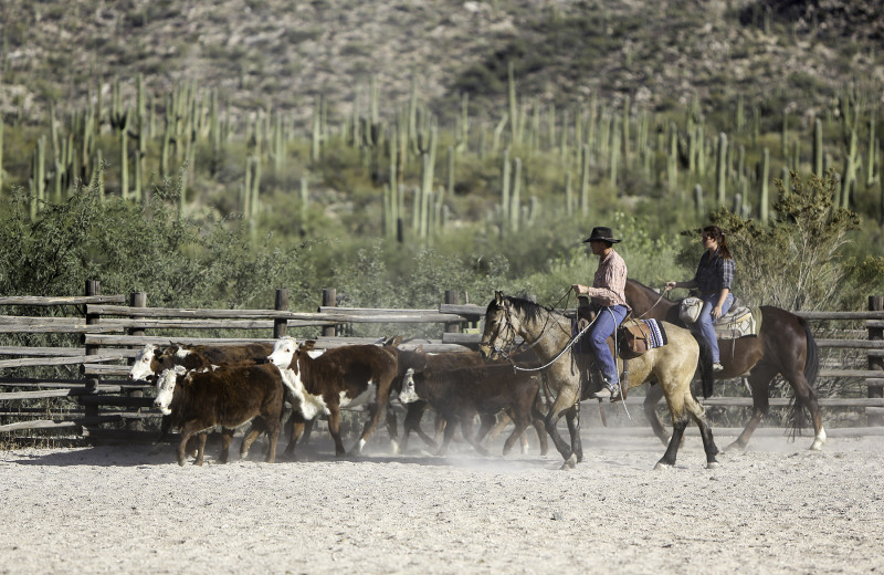 Cattle round up at Tanque Verde Ranch.