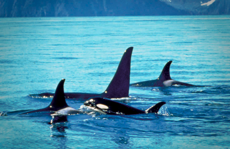 Killer whales at Great Alaska Adventure Lodge.