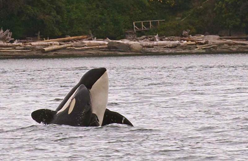 Killer whale at Snug Harbor Marina Resort.