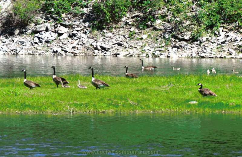 Geese at Edelweiss Mountain Lodging.