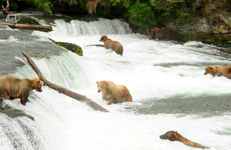 Bears at Alaska's Gold Creek Lodge.