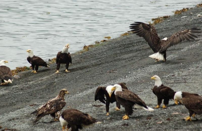 Eagle at Island Point Lodge.