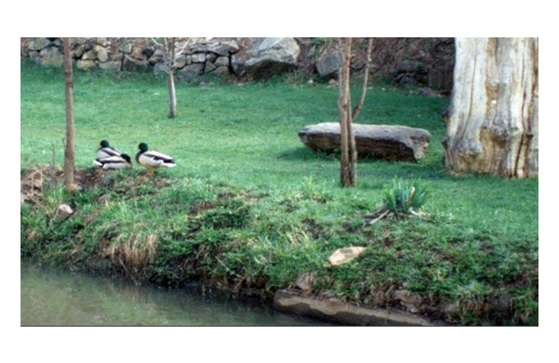 Ducks at Boulder Mountain Lodge.