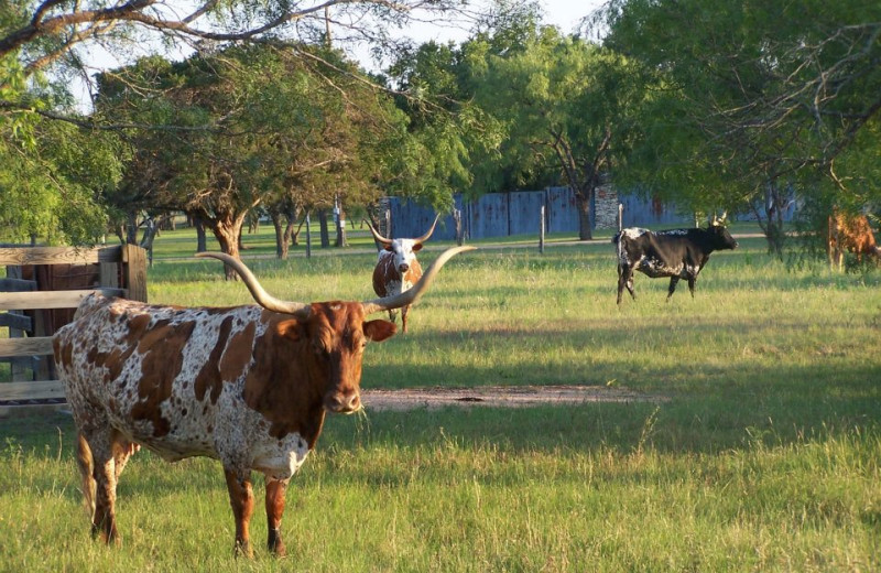 Cattle at Spicewood Cottage by Lake Travis.