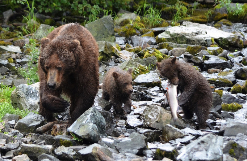 Bears at Alaskan Fishing Adventures.