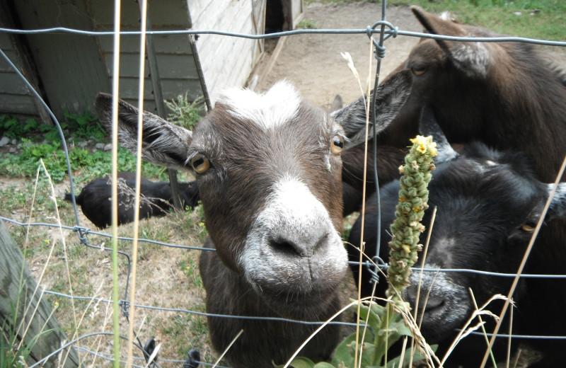 Goat at Highland View Resort.