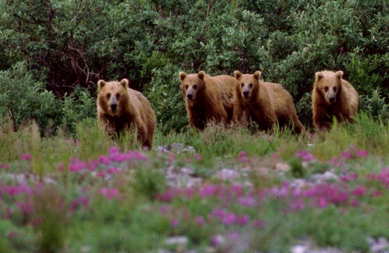 Family of bears at Alaska Trophy Adventures Lodge.