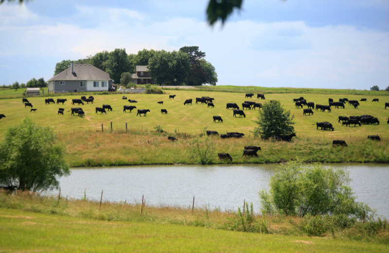 Cattle at Morrell Ranch.