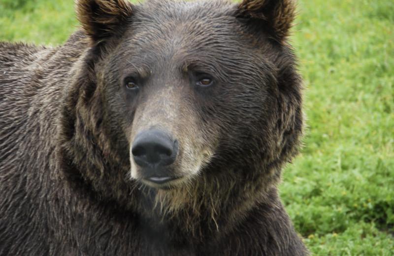 Bear at Gwin's Lodge & Kenai Peninsula Charter Booking Service.