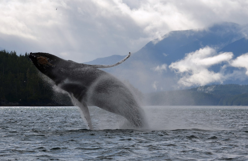 Whale watching at Grizzly Bear Lodge & Safari.