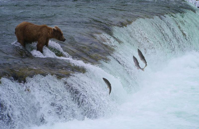 Bear catching fish at Alaska Rainbow Lodge.