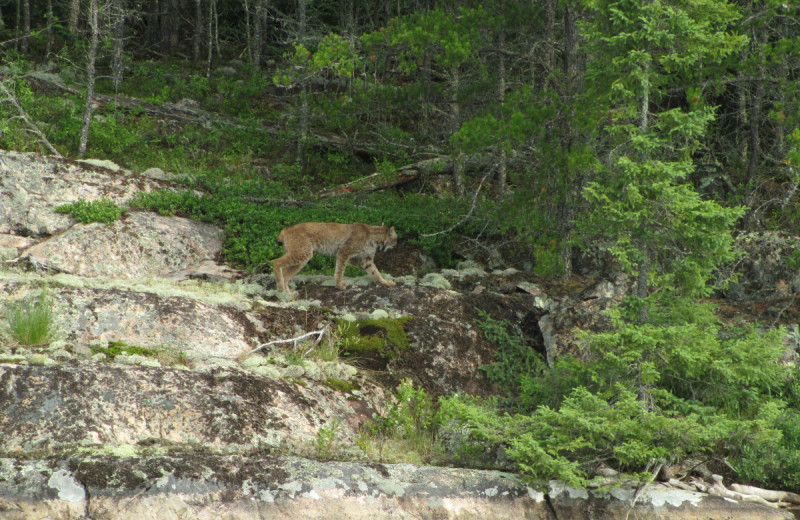 Bobcat at Dogtooth Lake Resort.